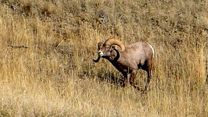 Rocky Mountain Bighorn Sheep Hunting